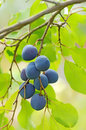 Plums on the tree ripe Stock Photography