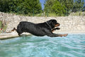 Plunging rottweiler Royalty Free Stock Photo