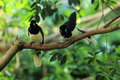 Plush crested jay the couple of jays sitting on the branch Royalty Free Stock Image