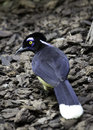 Plush crested jay cyanocorax chrysops bird standing in mulch Royalty Free Stock Photos