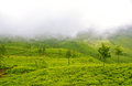 Plush Slopes of Tea Hills in Mist Royalty Free Stock Photo