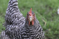 Plymouth Barred Rock Chicken
