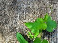 Pnący rośliny tło Zdjęcia Stock