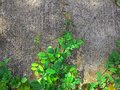 Pnący rośliny tło Obraz Royalty Free