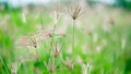 Poaceae in green field Royalty Free Stock Photo