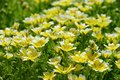 Poached egg plant yellow and white Stock Image