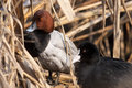 Pochard ((Aythya ferina) Stock Photo
