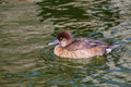 Pochard aythya ferina single male on water warwickshire swims in pond Stock Images