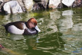 Pochard aythya ferina single male on water warwickshire swims in pond Stock Photos