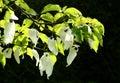 Pocket handkerchief tree Stock Photos