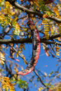 Pod fruit locust honey locust or of hanging from a branch in autumn Royalty Free Stock Image