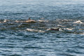 A pod of long beaked common dolphins