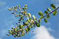 Pod Peas Plant on a Blue Sky Royalty Free Stock Images