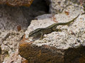 Podarcis muralis Royalty Free Stock Photo