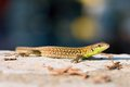 Podarcis siculus lizard basking on the wall croatia europe Stock Images