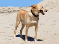 Podenco crossbreed with short tail on beach with collar Royalty Free Stock Photography
