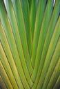 Podróżnicza palma Zdjęcia Stock