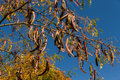 Pods or fruit locust honey locust of hanging from a branch in autumn Royalty Free Stock Images