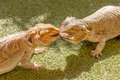 Pogona vitticeps competing for food vitticept reptiles biting each other green background Stock Photo