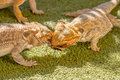 Pogona vitticeps competing for food vitticept reptiles biting each other green background Royalty Free Stock Photos