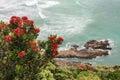 Pohutukawa Flowers Above Ocean...