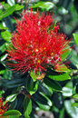 Pohutukawa - Single Flower & Bee - New Zealand Christmas Tree Royalty Free Stock Photos