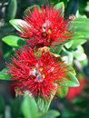 Pohutukawa - Two Flowers & Bees - New Zealand Christmas Tree Stock Photography