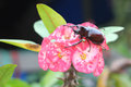 Poi sian beetle on percussion the flower Royalty Free Stock Photo