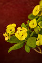 Poi sian flowers yellow christ thorn flower euphorbia milli desmoul Royalty Free Stock Photography