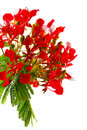 Poinciana Stockbilder