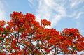 Poinciana tree beautiful royal in thailand Royalty Free Stock Photography