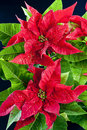 Poinsettia Stock Photos