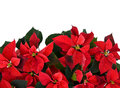 Poinsettia At The Bottom Of Fr...