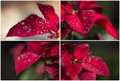 Poinsettia collage collaction a of four photos of the christmas flower Stock Photography