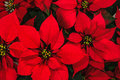 Poinsettia flower bright red christmas horizontal background Royalty Free Stock Image
