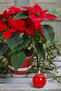 The poinsettia flower (Euphorbia pulcherrima) Royalty Free Stock Photo