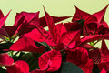 Poinsettia flower flourish indoor macro. Royalty Free Stock Photo