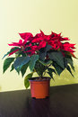 Poinsettia flower indoor. Royalty Free Stock Photo