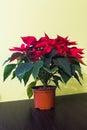 Poinsettia flower indoor. Royalty Free Stock Photo