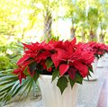 Poinsettia flower is red, m ilkweed is beautiful in flower pots on the street, Christmas or Bethlehem star Royalty Free Stock Photo