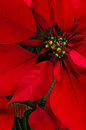 Poinsettia flower red vertical background Royalty Free Stock Photography