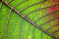 Poinsettia Leaf Macro. Royalty Free Stock Photos