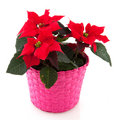 Poinsettia in pink