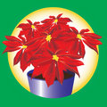 Poinsettia plant Royalty Free Stock Image