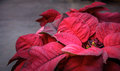 Poinsettia plant with red foliage Royalty Free Stock Photo