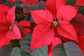 Poinsettia Red Flower Royalty Free Stock Photos