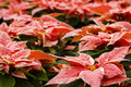 Poinsettias Royalty Free Stock Photos