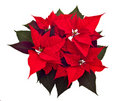 Poinsettias Christmas flower Royalty Free Stock Photo