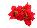 Poinsettias flower Royalty Free Stock Photography