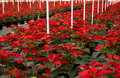 Poinsettias in Rows Stock Photo